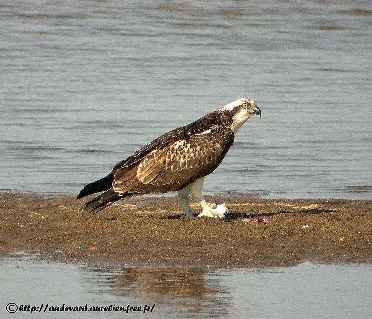 Balbuzard pêcheur Pandion haliaetus Western Osprey
