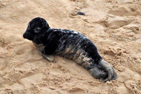 Très jeune phoque gris trouvé aux Sables Vigniers photo Yvon Vergnol
